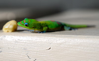 Green Gecko checking out a Banana on the Lanai