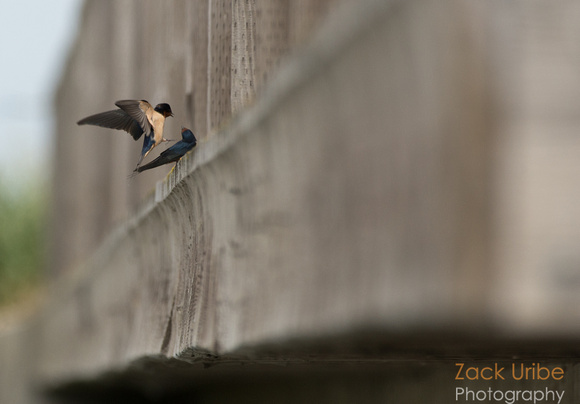 Swallow Greeting