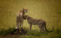 Mom and Child Cheetah