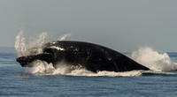 Mother whale with water coming out of mouth during breach